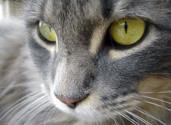 limpiar-los-ojos-de-los-gatos