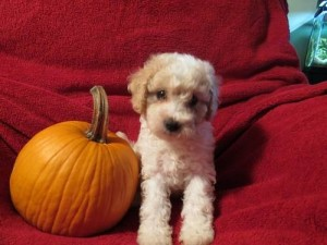 cava-poo-chon_puppies_for_sale_teddy_bear_pups_8_weeks_old_33422009